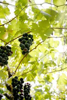 木 ぶどう ブドウ 葡萄 フルーツ 植物 農園 果樹園 果物
