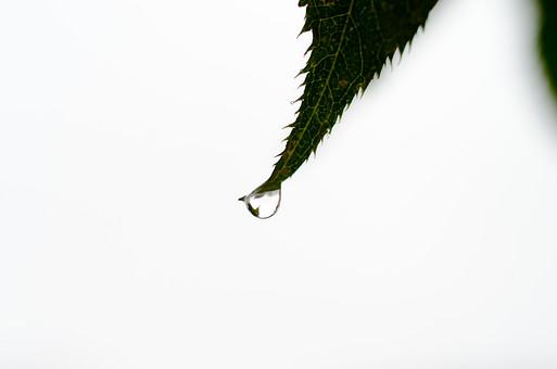 雨 濡れる 濡れた 雫 しずく 水滴 水分 水 露 雨天 クローズアップ 自然 風景 植物  雨粒 レイン 透明 丸い 粒 葉 草 葉っぱ 葉脈 緑 影 シルエット 一滴 一粒 白背景 白バック