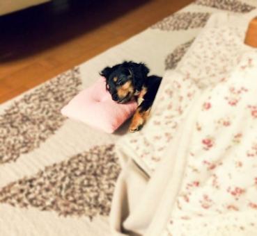 こたつ コタツ 炬燵 犬 イヌ いぬ ペット 寝る 枕 睡眠 リラックス かわいい