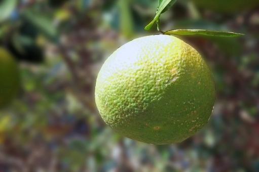 みかん ミカン 蜜柑 かんきつ類 柑橘類 柑橘系 果物 食べ物 食品 食料品 食材 果実 グルメ 木の実 自然 植物 風景 景色 陽ざし 陽光 季節 初夏