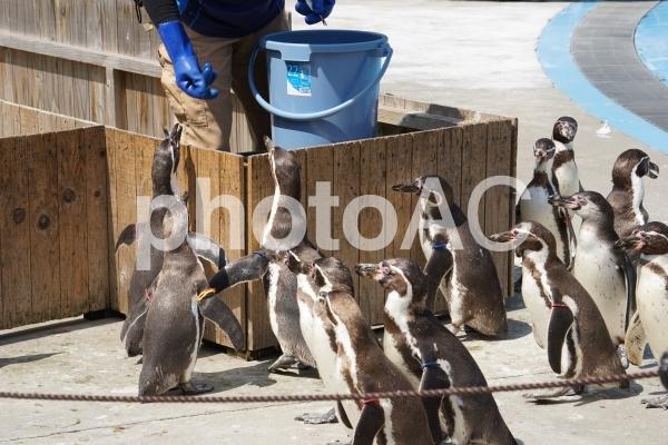 埼玉県こども動物自然公園 フンボルトペンギンの写真