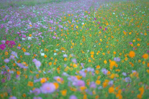 秋の風景 コスモス アキザクラ 秋桜 コスモス畑 花畑 花園 桃色 ピンク 白 オレンジ 緑 植物 花 草花 一面 満開 散歩 散策 自然 風景 景色 真心 のどか 鮮やか 美しい 綺麗 明るい ボケ味 ピントぼけ ぼかし