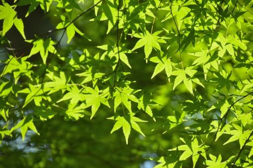 もみじ モミジ 青モミジ 青もみじ 光 透過 爽やか 初夏 空 清々しい 植物 枝 樹 影 陰影 明るい