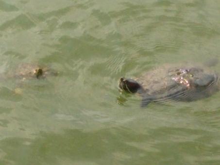 かめ 亀 生き物 水上 水中 池 湖 デート 出会い 出逢い 恋 夫婦 カップル 親子