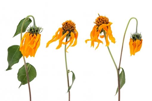 ドライフラワー 花びら フラワー 花 花弁 植物 自然 質感 茎 蕾 葉 模様 素材 フラワーアレンジ フラワーアレンジメント 束 乾燥 萎れた しおれた 枯れた 枯れる ポプリ アロマ 白バック 白背景 余白 コピースペース スペース スタジオ スタジオ撮影 イメージ 黄色 緑色