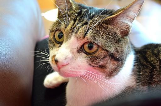 猫 ネコ ネコ 子猫 飼い猫 ペット ねこ目 見上げるネコ 待て お利口さん 可愛い 癒し ネコじゃらし 黒目 黄色い目 虎模様 白い顔 白い前足 ひげ 白いひげ 長いひげ 長い眉毛 白い眉毛 飼い主 大きい目