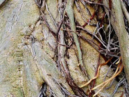 自然 植物 木 樹木 根 絡まる 絡む 這う 幹 成長 育つ 伸びる 沢山 多い 密集 集まる 束 枯れる しぼむ 苔 アップ 無人 室外 屋外 風景 景色 生える くっつく