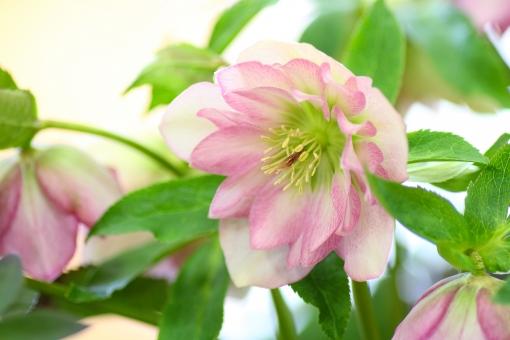 クリスマスローズ 花 お花 園芸 ガーデニング ピンク 植物 自然 ヘレボルス