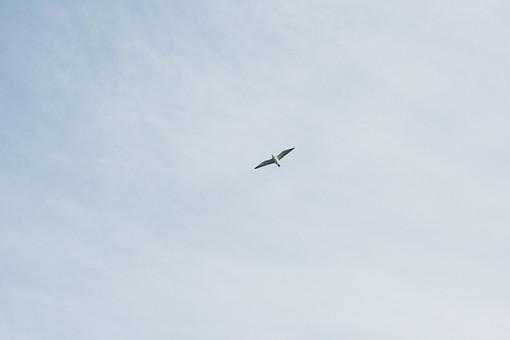 かもめ カモメ 鴎 鳥 とり トリ 飛ぶ 渡り鳥 水鳥 動物界脊索動物門 鳥綱 チドリ目 カモメ科 カモメ属 鳥類 雑食 翼 羽根 羽 外 屋外 空 生き物 シルエット 青空 飛ぶ