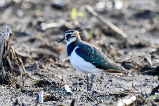 野鳥 タゲリの写真
