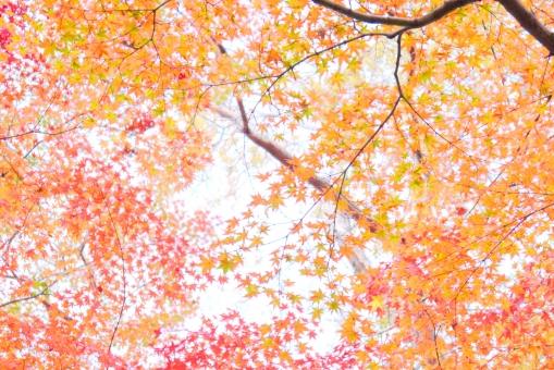 オレンジ色 繊細 淡い 淡色  テクスチャー 和柄 10月 黄葉 黄色 枝 あでやか あざやか 朱 鮮やか 美しい 和 12月 晩秋 和風 朱色 日本 楓 かえで カエデ 壁紙 テクスチャ 植物園 背景素材 紅葉狩り もみじ狩り オレンジ 紅葉 秋 モミジ 椛 もみじ 赤 紅 風景 木 樹木 葉 葉っぱ 植物 自然 散歩 観光 旅 旅行 11月 背景 景色 公園 京都