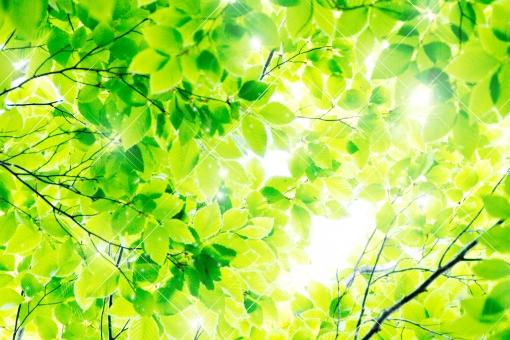 ブナ ぶな 山毛欅 山毛欅林 ブナ林 ぶな林 葉っぱ 木の葉 木葉 はっぱ 木の枝 小枝 自然 風景 木 樹木 森 植物 緑 グリーン エコ エコロジー 環境 ECO eco ECO 森林 森林浴 森林セラピー 癒し いやし リラックス リラクゼーション やすらぎ 安らぎ マイナスイオン 健康 美容 背景 背景素材 テクスチャ テクスチャー バックグラウンド 5月 夏 緑 春 初夏 癒し きらめき キラメキ 優しさ やさしい 優しい 揺らぎ 風 空気 そよ風 バックイメージ グラデーション 玉ぼけ 光 輝