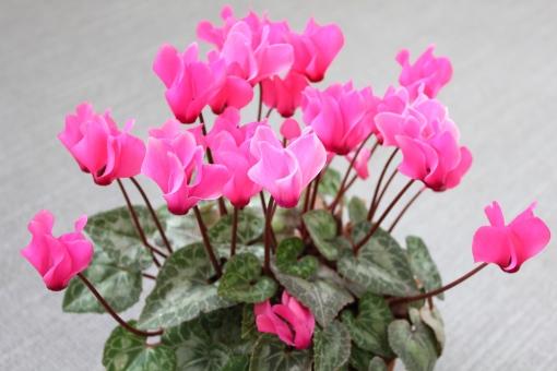 シクラメン ピンクの花 お花 植物 鑑賞植物