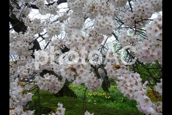 Sakura9の写真