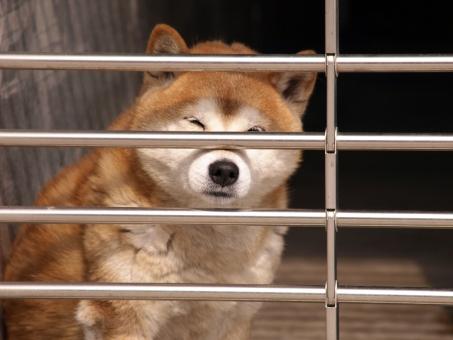 犬 柴犬 散歩 見つめる 檻 シャッター 閉じ込め 悲しい 切ない 留守番 行ってらっしゃい 茶色 見送り 鼻 日向ぼっこ 覗き見 ちらっ