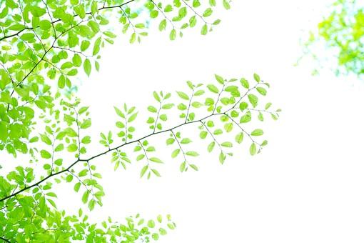 葉 緑 木 新緑 新芽 日本 木の葉 自然 植物 屋外 壁紙 背景 背景素材 バックグラウンド 光 青空 環境 エコ 木漏れ日 こもれび 枝 さわやか 爽やか 初夏 若葉 黄緑