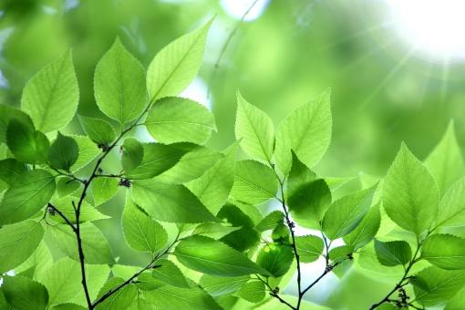 自然 風景 植物 樹木 木の葉 葉っぱ 緑の葉っぱ 新緑 若葉 初夏 夏 新芽の季節 四月・五月 六月・七月・八月 光 光透過光 暑中見舞い ポストカード 待ち受け画像 コピースペース バックスペース 新鮮な みずみずしい 背景 テクスチャー 季節感 木漏れ日 目に青葉