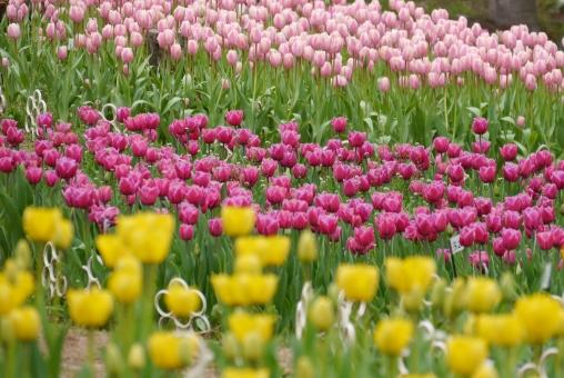 チューリップ 春 カラフル 黄色 桃色 緑 みどり 草花 植物 背景 可愛い かわいい 綺麗 きれい 美しい ガーデニング 栽培 景色 風景 公園 グリーン 緑 花 ピンク 自然 壁紙 明るい