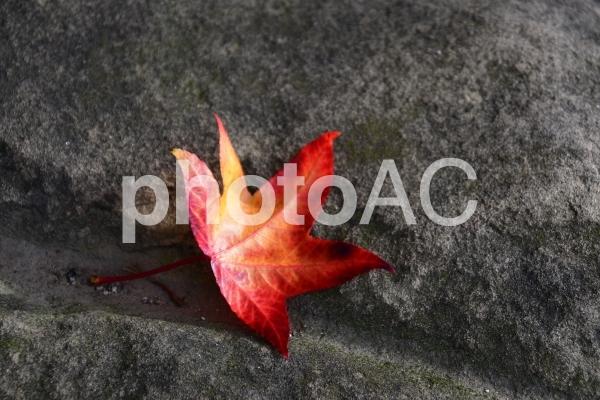 岩の上に落ちた赤い楓の葉っぱ  バンクーバー ブリティッシュコロンビア州 カナダの写真