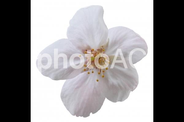 切り抜き写真素材 桜の花びら 16-05の写真