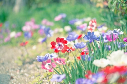屋外 外 自然 植物 花  フラワー 園芸 栽培 ガーデニング 花壇  花畑 アップ 淡い ボケ ぼかし  幻想的 ファンタジー アネモネ 春 地面 草花 カラフル 色とりどり かわいい 可憐 赤 紫 白