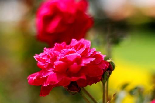 赤い花 赤色の花 花 はな 植物 草花 自然 接写 クローズアップ アップ 花びら 茎 葉 ぼかし 園芸 ガーデニング 庭 栽培 自生 野生 開花 満開 赤 真っ赤 鮮明