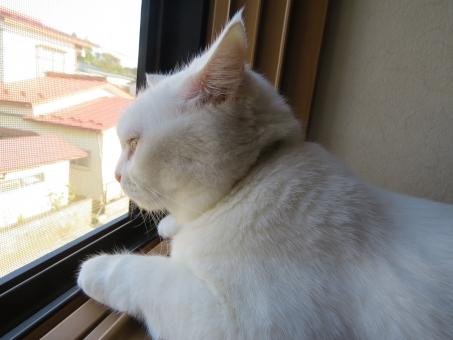 ねこ 猫 白 白猫 しろねこ ぬこ cute かわいい 可愛い cat white 外 窓 網戸 覗く のぞく しろ
