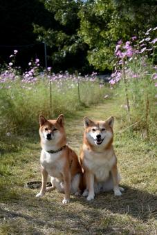 柴犬・コスモスの写真