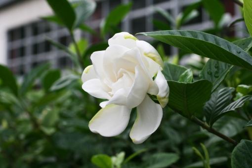 クチナシ くちなし 梔子 梔 白 白い花 初夏 初夏の花 初夏に咲く花 アカネ科