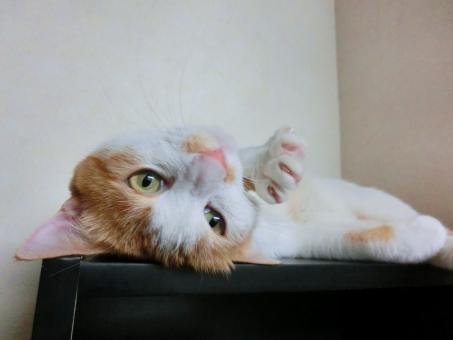猫 ネコ ねこ ひっくり返る 目を開けた カメラ目線 猫の手 愛猫 横になる 寝そべった 爪 ピンクの鼻 くつろぐ 白いひげ 白 茶 飼い猫 家猫 室内猫 ペット 動物 甘える 甘える リラックス 手 顔 表情 だらける かわいい にゃらん