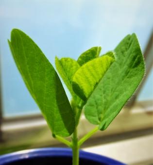 大豆 枝豆 大豆の成長 枝豆の成長 大豆の葉 枝豆の葉 朝陽を浴びる葉 緑 初夏 5月 新緑 プランター栽培 家庭栽培 癒し 室内 屋内 祈るような大豆の葉 植物 テクスチャ 背景 background 3