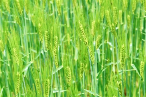 麦畑 青麦畑 青い 青い麦 粒 粒々 つぶ つぶつぶ 畑 青い畑 緑 緑色 緑の畑 麦 麦の穂 穂 グリーン green 若々しい 若い 伸び伸び のびのび 元気 春 四月 4月 たくさん 密集 自然 植物 風景 景色 景観 壁紙 テクスチャ 素材