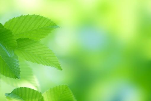 自然・風景 植物 樹木 木の葉 葉っぱ 新緑 若葉 春‣夏 初夏 夏 四月・五月 六月・七月・八月 木漏れ日 光溢れる 光透過光 緑溢れて 待ち受け画面 ポストカード コピースペース 背景 野外アウトドア 森・林・公園 エコ・環境 新鮮な みずみずしい バックスペース 季節感 暑中見舞い