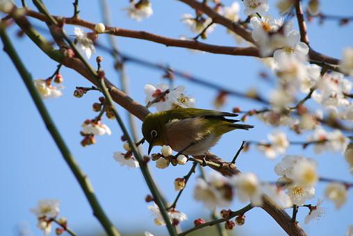 梅 花 風景 植物 かわいい 美しい 明るい 青空 屋外 晴れ アップ 冬 桃色 満開 和 複数 綺麗 上品 咲く 華やか 可憐 空バック 日本的 風情 風流 情緒 空背景 鳥 小鳥 メジロ めじろ