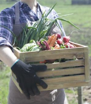 農場で野菜の入った木箱を抱える女性1の写真