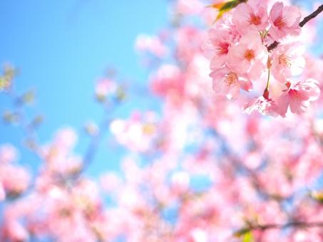 桜と青空01の写真