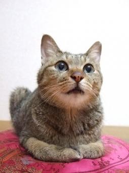 猫 ねこ ネコ 顔 表情 目をそらす 目を開けた 知らん顔 興味なし 座り込む クッション 遠い目 無視 シカト 聞こえないふり ペット 家猫 飼い猫 室内猫 どうぶつ 動物 生き物 ちゃこ とぼけた