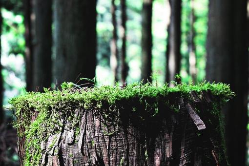 自然 風景 屋外 外 野外 山 山林 木 樹木 景色 植物 森林 背景 背景素材 山中 日陰 クローズアップ 切り株 こけ 苔 コケ 山林 林地 地面 大地 緑 茶色 葉 枯れ葉 落ち葉 枝 生える 並木