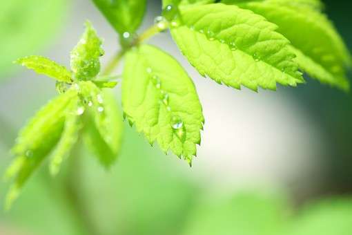 葉 緑  新緑 新芽 日本 木の葉 自然 植物 屋外 壁紙 背景 背景素材 バックグラウンド 光  環境 エコ  さわやか 爽やか 初夏 若葉 水 水滴 しずく 雫 葉っぱ 瑞々しい フレッシュ