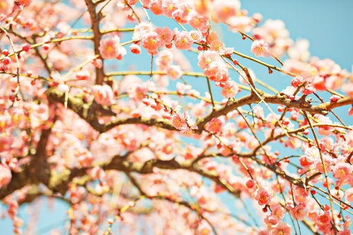 自然 植物 花 花びら ピンク色 桃色 梅 多い 沢山 密集 集まる 成長 育つ 満開 開花 咲く 開く 枝垂れ 垂れる ぼやける ピンボケ アップ 加工 空 青空 天気 晴天 晴れ 無人 室外 屋外 風景 景色 春 見頃 可愛い 鮮やか 綺麗 華やか 美しい 幻想的