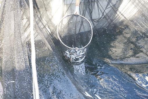 屋外 野外 漁 海上 漁獲 漁り 魚 獲る 漁業 海 水揚げ 大量 大漁 釣り 漁獲 早朝 船 船上 漁船  網 引き揚げ 捕獲