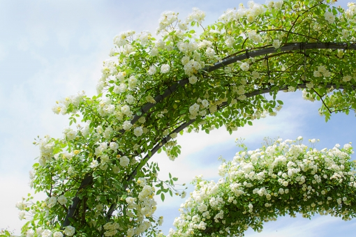 植物 自然 花 バラ ばら 薔薇 華やか 豪華 ゴージャス エレガント ローズ ローズガーデン 背景 壁紙 バラ園 薔薇園 花園 庭 公園 ブライダル ウエディング 結婚式 結婚 つるバラ 蔓バラ 蔓薔薇 明るい アップ クローズアップ 柔らかい ソフトフォーカス トンネル アーチ 青空