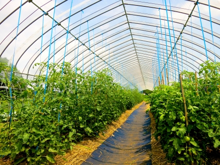 グリーン トマト ビニールハウス 温室 湿度 南 植物 葉 暑 密林 ドーム 栽培 気温 保温 収穫 野菜 実 フレーム