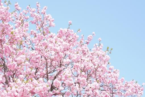 青空 満開 八重桜 八重 桜 さくら サクラ 八重咲 cherry blossom 華やか 春 花 華 フラワー 木 植物 和 連休 花見 お花見 卒業 入学 入社 祝福 幸せ 出会い 別れ 公園 自然 風景 背景 background 水色 青 ピンク コピースペース 余白