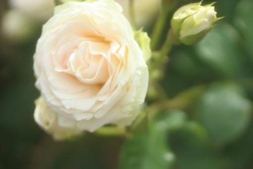 花びら 光 パステルカラー キラキラ 夏 園芸 花壇 天気 風景 おめでとう ホワイト 白 淡い ツルバラ つるばら バックグラウンド フラワー 爽やか happy birthday 背景デザイン 自然 ナチュラル 幸せ ブーケ 春 薔薇 バラ ばら 花束 プレゼント フラワーアレンジ 入学 贈り物 ギフト お祝い 結婚 母の日 誕生日 ウェディング カード メッセージ バースディカード 背景 壁紙 花 植物 卒業 初夏 5月 記念日 メッセージカード 可愛い かわいい 優しい ソフト やわらかい バレンタイン バレンタインデー ホワイトデー 背景素材 素材 ピンク rose rosa ローズ