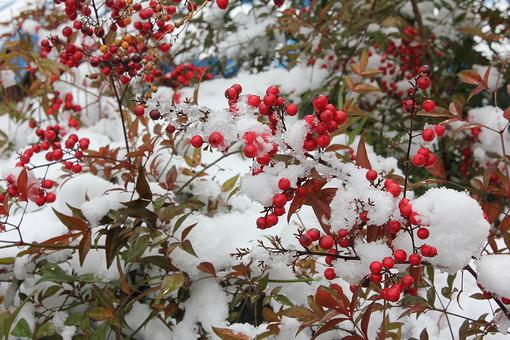 ナンテン なんてん 南天 メギ科 ナンテン属 常緑低木 実 三冬の季語 正月 赤い実 植物 葉 葉っぱ 冬 真冬 雪 雪景色 銀世界 積雪 季節 景色 風景 庭 庭園 自然