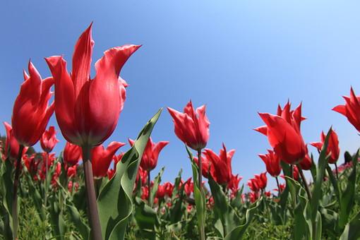 チューリップ 花 フラワー 植物 自然 赤 緑 葉 葉っぱ 鬱金工 栽培 園芸 春 5月 オランダ トルコ 新潟県 富山県 あざやか かわいい 花畑 たくさん 花言葉 華美 公園