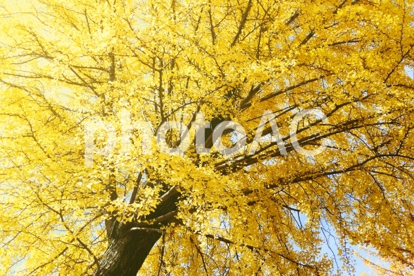 黄金色に染まるイチョウの木の写真