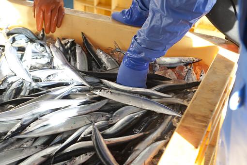 屋外 野外 漁 海上 漁獲 漁り 魚 獲る 漁業 海 水揚げ 大量 大漁 釣り 漁獲 早朝 船 船上 漁船 引き揚げ 捕獲 青魚 仕分け 人 人物 腕 手