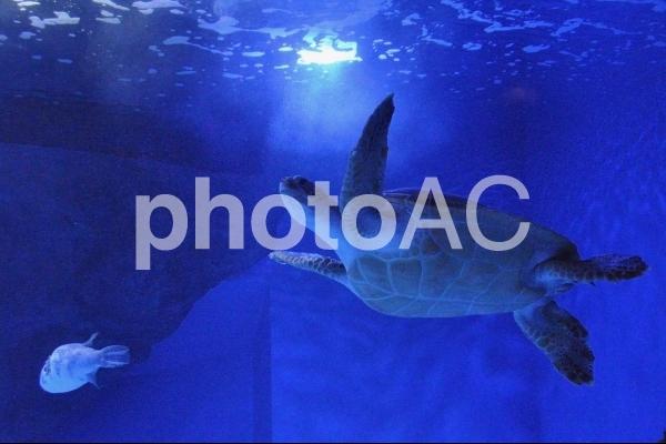 ウミガメ泳ぐの写真